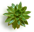 plantaverano